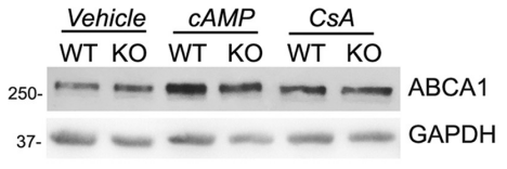 Fig.3 Immunoblot detection of ABCA1 protein expression aftertreatments with vehicle(DMSO), 8-Br-cAMP(cAMP), or CsA.