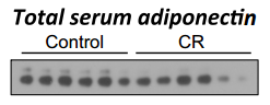 Fig.1 Circulating adiponectin does not increase during extensive CR in rabbits.