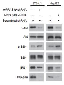 Fig.2 PRAS40 knockdown decreases IRS-1 levels, inhibits Akt phosphorylation and uncouples S6K1 phosphorylation from Akt signals.