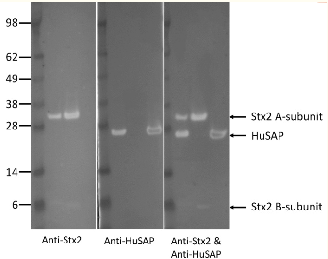 Fig.1 The pure Stx2, HuSAP, and the immune complex eluted from the affinity column were run on the same SDS-PAGE, and immunoblotted with antibodies against Stx2, HuSAP, or a mixture of antibodies against Stx2 and HuSAP, respectively.