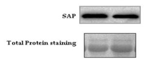 Fig.2 Box-Plot and representative western blot image showing changes in SAP in the LPDP samples after PhyS-milk intake (N = 5; 1.21-Fold change; p = 0.001).