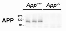 Fig.1 IDE was increased in App-/- tissues.