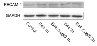 Fig.1 Western blot analysis was performed to detect the protein expression of adhesion molecules.