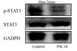 Fig.2 Effects of P4C10 on the protein expression of STAT3 and p-STAT3 were detected by western blotting.