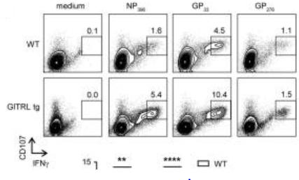 Fig.1 CD107α/β+ cells were also mostly IFNγ+, further demonstrating that the virus-specific CD8 T cells in GITRL tg mice are more polyfunctional.