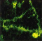 Fig.4 Frozen sections of murine mesenteric lymph nodes were triple stained for JAM-1.