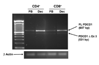 Fig.3 Reverse transcription-polymerase chain reaction analysis of PDCD1 mRNA isoforms in autologous term peripheral blood and decidual T cells.
