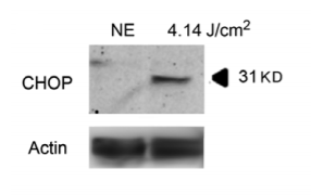 Fig.3 Same experiment that in panel A using anti-CHOP antibody.