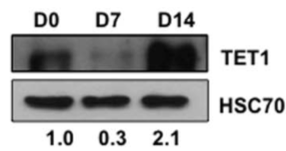 Fig.1 TET gene expression and 5-hmC content in human embryonic stem cell (hESC) differentiation.