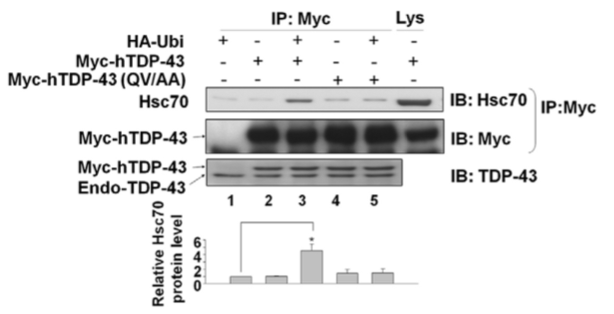 Fig.4 Western blotting shows the interaction between hTDP-43 or hTDP-43 (QV/AA) with Hsc70.