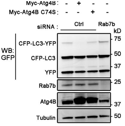 Fig.1 Rab7b modulates Atg4B activity.