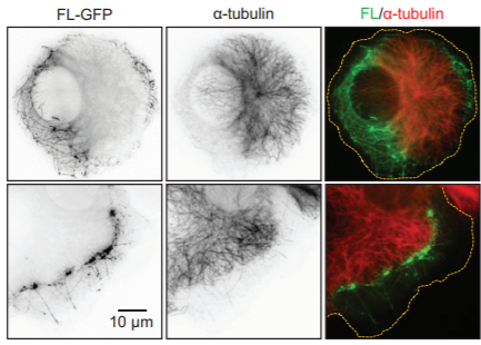 Fig.1 The ability of tcPHD to facilitate degradation of tcHIF-α was assessed in mammalian cells.