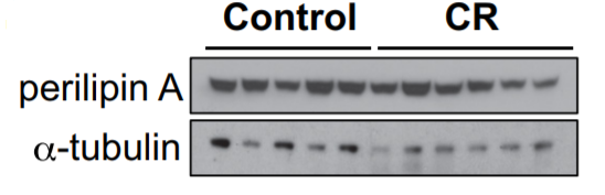 Fig.2 Representative images of bisected humeri or protein.