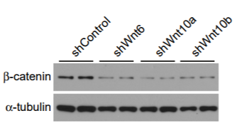Fig.3 ST2 cells were infected with retroviruses for expression of shRNAs against Wnt6, Wnt10a, Wnt10b or scrambled control.