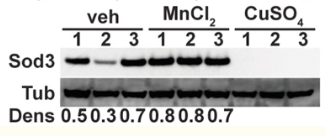 Fig.1 Western blot of strains as in A, grown in normal SC medium with vehicle, 3 mM MnCl2 and 3 mM CuSO4 for 13 hours, probed for Sod3 and loading control tubulin.