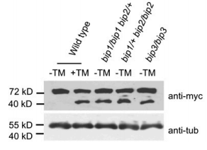 Fig.2 Proteolytic processing of mycbZIP28 in wild-type seedlings in response to 2 mg/mL TM treatment for 2 h.