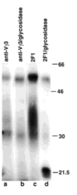 Fig. 1 Immunoprecipitation of KLRG1.