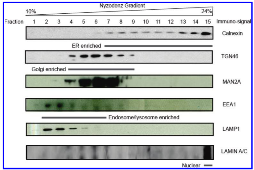 Fig. 1 Immunoblot detection using organelle-specific markers to illustrate enrichment of subcellular components by density gradient centrifugation.