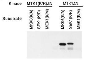 Fig.1 Phosphorylation and activation of MKK6 and SEK1 by MTK1 in vitro.