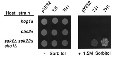 Fig.2 MTK1 functionally complements ssk2 ssk22 sho1 deficiency and specifically activates the HOG pathway in S.cerevisiae.