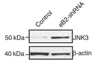 Fig. 1 eB2-shRNA augments JNK3 protein expression in HUVEC.