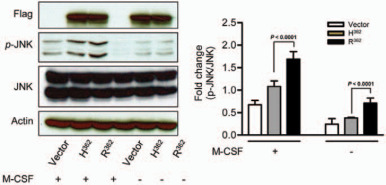Fig.1 Western blot analyses of CSF1R variant type
