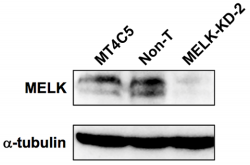 Fig.1 Immunoblot analysis monitoring MELK expression in MT4C5 cells stably expressing either non-target (Non-T) or MELK-specific shRNA (MELK-KD-2) (upper panel).