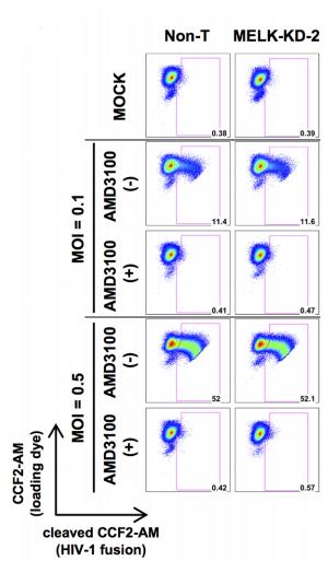 Fig.2 Depletion of MELK delays HIV-1 CA disassembly.