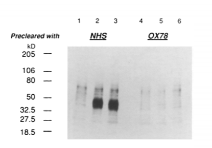 Fig.1 Sequential immunoprecipitation of the antigen recognized by HM48-1 and MRC OX78.