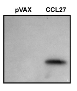 Fig.1 Plasmid CCL27 expresses the appropriate size chemokine (12.4 kDa) as detected by radioactive in vitro translation.