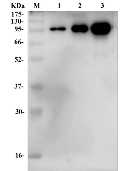 Fig.1 Western Blot analysis.