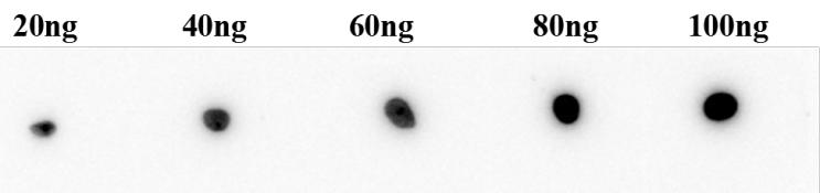 Fig.3 Antigen Dot Blot analysis.