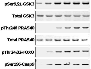 Fig.2 Western analysis was performed to assay levels of phosphorylated and total GSK-3, PRAS40, AKT and ERK, phosphorylated Foxo, Caspase 9, and MEK.