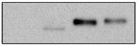Fig.1 Expression of GAS2L3 in HeLa cells stably expressing a tetracycline-inducible and HA- and streptavidin-binding-petide-tagged-GAS2L3 was analyzed by immunoblotting.