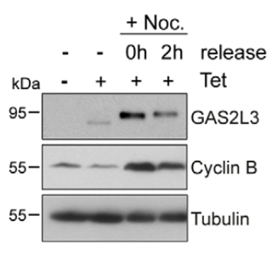 Fig. 1 Expression of GAS2L3 in HeLa cells stably expressing a tetracycline-inducible and HA- and streptavidin-binding-petide-tagged-GAS2L3 was analyzed by immunoblotting.