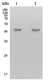 Fig.1 Western Blot analysis of CBMAB-R0118-FY.
