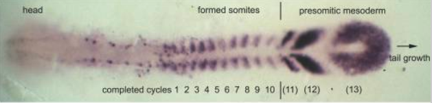 Fig.2 The expression pattern of the oscillating gene deltaC in a zebrafish embryo at the ten-somite stage.